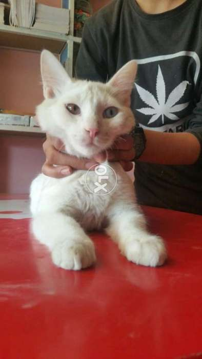 Persian cat male odd eyes for stud service double coated for sale 0