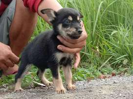 Anjing mix herder