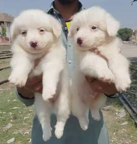 Russian puppy pair 45 day age zero size for sale