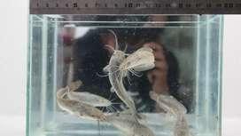 Bibit ikan tawar Lampung #1