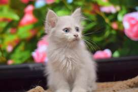 Blue eyes pure white persian kitten pure breed