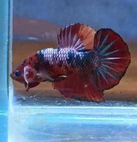 Ikan Cupang Betta Multicolor