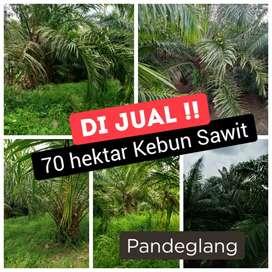 Dijual Tanah Kebun Sawit Muda Murah Di Pandeglang, Banten