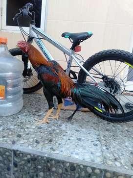 Ayam bangkok lancuran