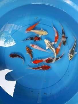 Dijual ikan Koi ukuran 14-17 cm berbagai jenis. Minat Whatshapp saja
