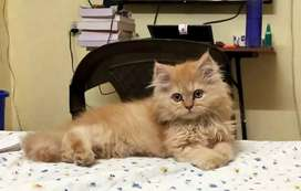 Original breed triple coat persian kitten 3 month old