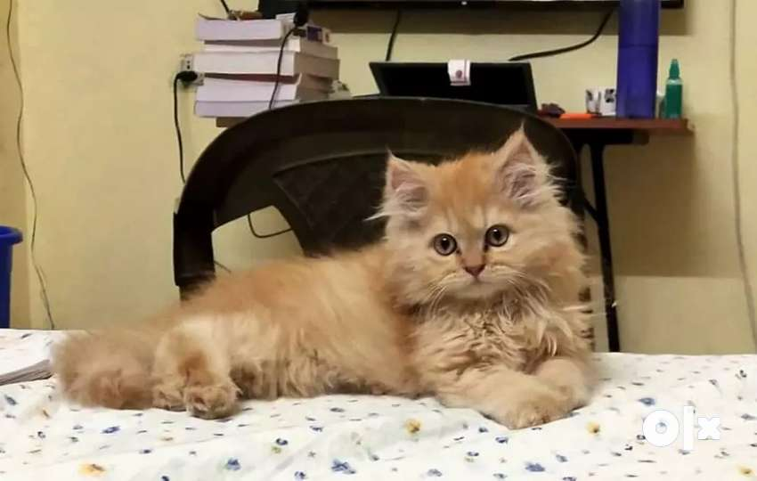 Original breed triple coat persian kitten 3 month old 0