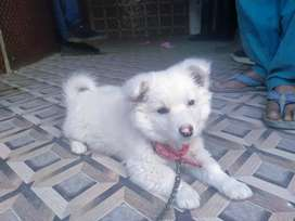 Russian pupy for sell