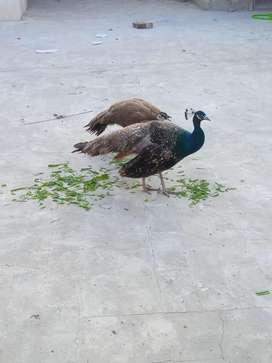 Male peacock for sale