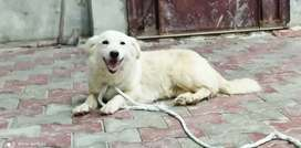 Female russian dog for sale