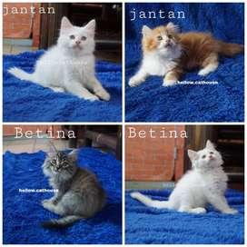 Kucing kitten Persia Flatnose betina Jantan 2,5 Bulan Himalaya Ragdoll