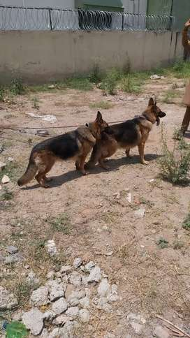 Double coat GSD stud male for sale