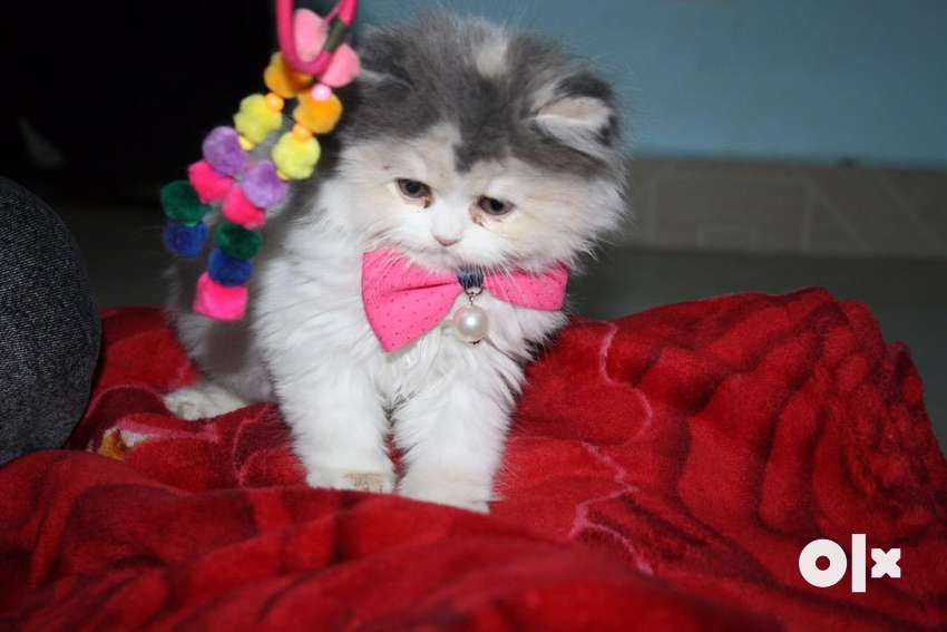 Trained Little Persian Kittens and Cats for Sale 0