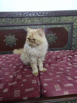 CAT : Persian breed
