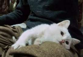 White persion cat triple coated