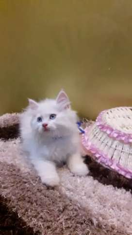 Healthy and playful Persian kittens