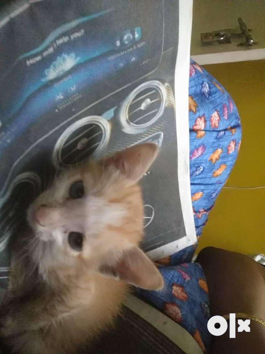 Ginger striped kitten for adoption 0