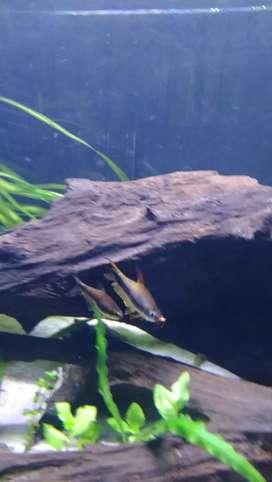 Ikan palmeri flyingfox brushmouth