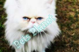 persian triple coated extreme punch close to peke blue eyes cat mating