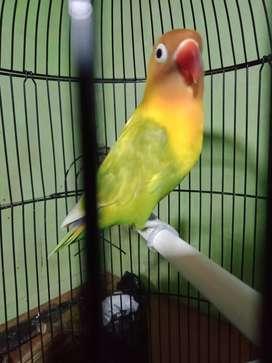 Lovebird Full set sama kandang