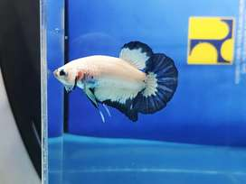 Ikan cupang blue rim line thailand jantan 2
