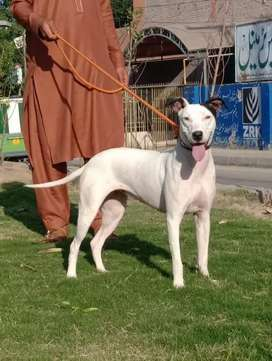 Gultair female Age 5 months for sale