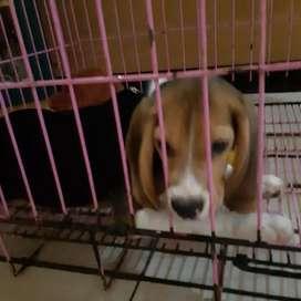 Jual Puppy beagle