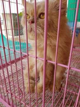 Kucing Flatnose Jantan