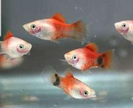 Ikan micky mouse harga peternak