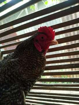 Jual ayam ktek sisik