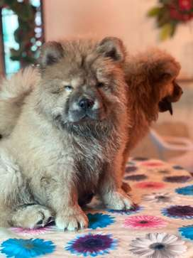 Chow chow imported red puppy