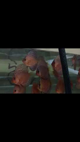 Ikan discus lss mozaic 2,5up 3in