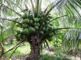 T3 Coconut plant short