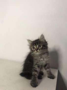 Kucing persia kitten marble jantan dan betina