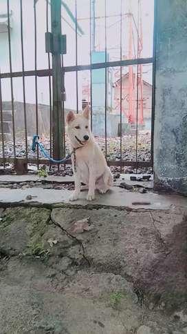 Jual anjing husky mix kintamani umur 7 bulan Jantan