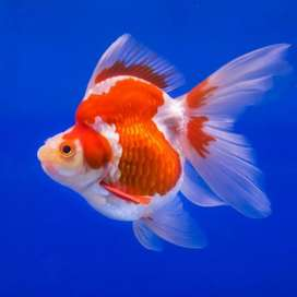 Imported ryukin, redcap goldfish available in breeding size 5 inch
