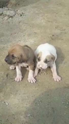 Male(brown ) female for sale 20 days