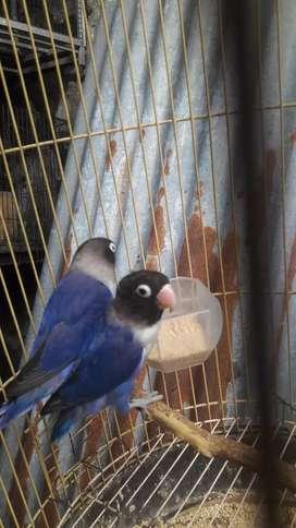 Lovebird sepasang mapan nego