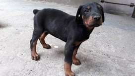 Puppy Doberman betina