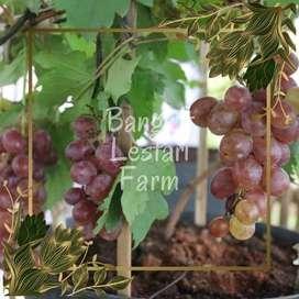 ALAMAT Pohon Anggur Brazil Diskon