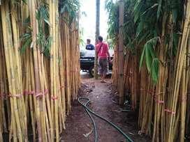 HMenyediakan Aneka Pohon bambu kuning/panda Bambu Jepang bambu Klisik