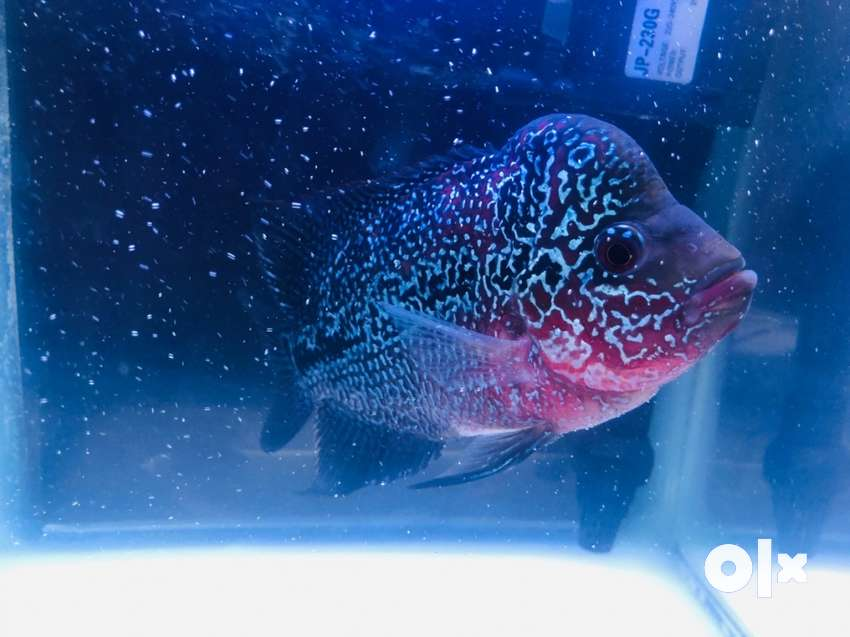 AAA categories Flowhorn fish for sale 0