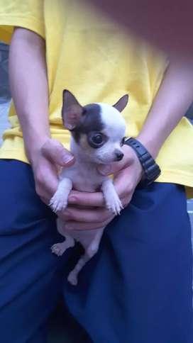 Chihuahua puppy stambum  bandung teacup betina apple head