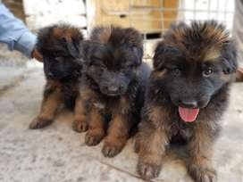 Black mask pups available
