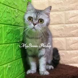 Kucing scottish straight indukan betina proven