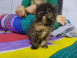 Pure persian cat available