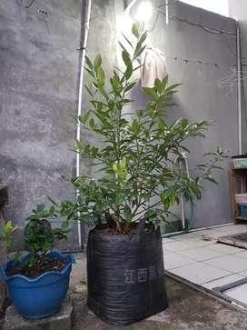 Jual tanaman Jeruk Nagami