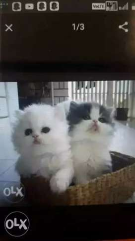 Healthy And Fluffy Cats Are Available