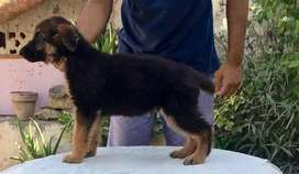 Gsd females puppies for sale