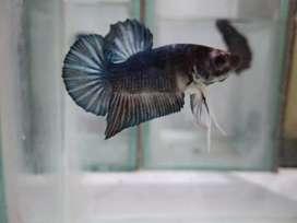 Ikan Cupang Plakat metalic